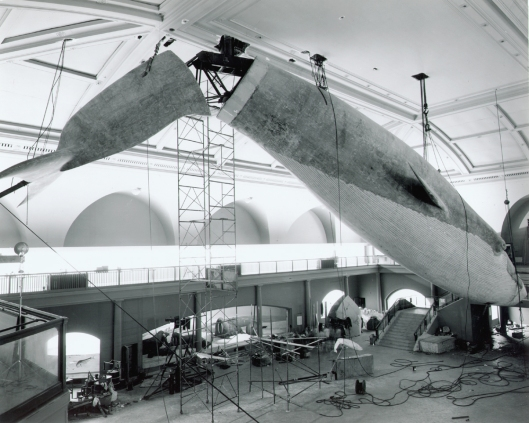 Installing-a-Blue-Whale-at-the-American-Museum-of-Natural-History-4