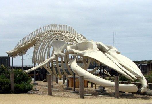 whale-skeleton
